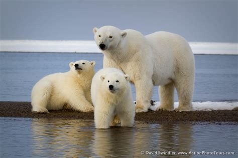 two polar bears in a bathtub photographing alaskan polar bears part 2 action photo