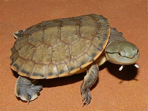argentine side necked turtle for sale from the turtle source