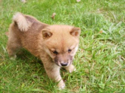 shikoku puppies for sale pin canaan puppies for sale from quality breeders at pupsusacom on