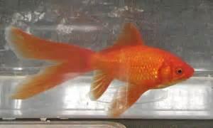 libro the goldfish boy peces de agua fria para acuario im 225 genes