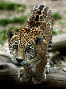 Jaguars Babies Baby Jaguar On Black Jaguar Cub And