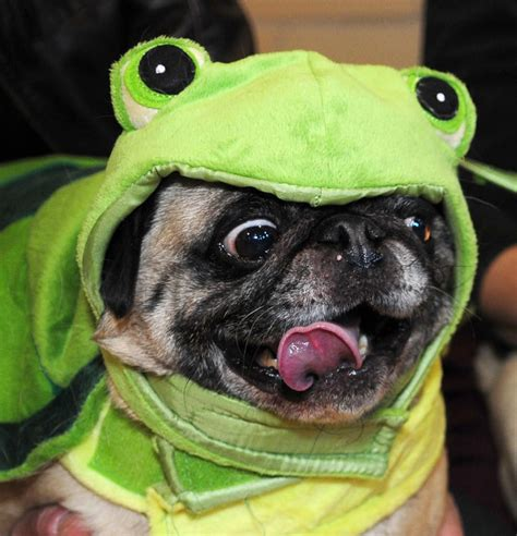 silly pug the 33 cutest pug pictures of all time