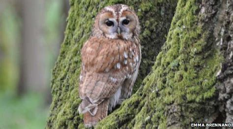 what color are owls earth news owls change colour as climate warms