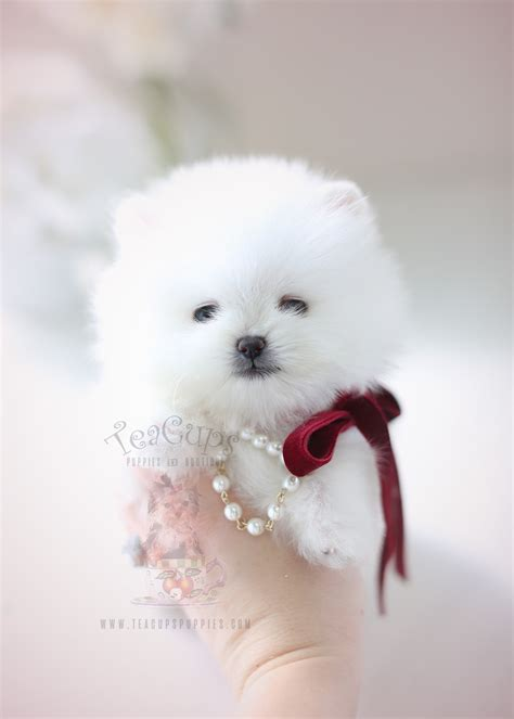 pomeranian puppies miami teacup pomeranian puppies for sale in miami ft lauderdale teacups puppies boutique