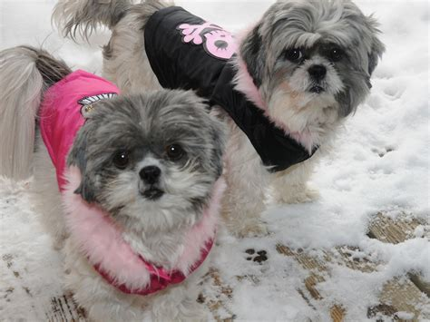 shih tzu in snow dottie and flower in the snow same shih tzu different day