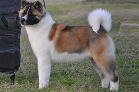puppies for sale akita puppies for sale bazar
