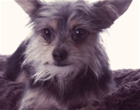 Do Yorkie Chihuahua Mix Shed by Small Breeds Medium To Large Breeds Designer