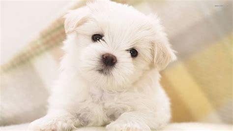 alimentazione cuccioli di maltese cani taglia piccola maltese
