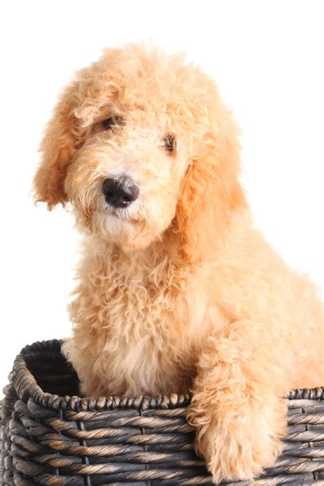 goldendoodle puppy care tips tips for getting goldendoodle puppy for your family from