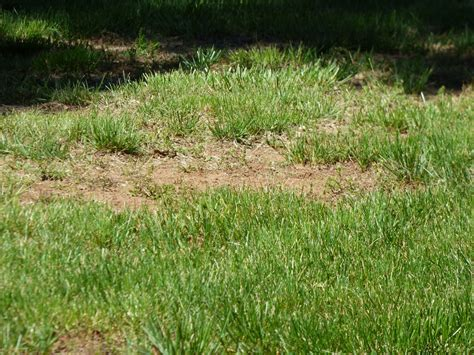 how to grow grass in backyard can a brown lawn be saved how to revive a dead lawn