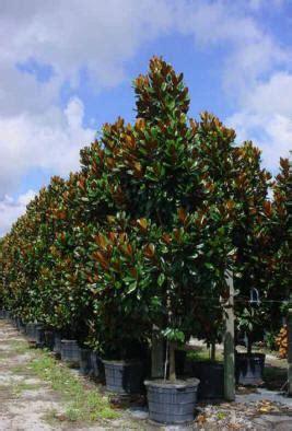 southern magnolia magnolia grandiflora palm tree