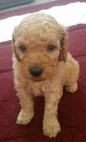 rochester puppies for sale poodlechon puppies for sale rochester kent pets4homes