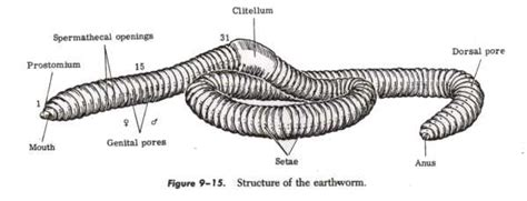 earthworm part 1 pass science solutions earthworm dorsal side www pixshark images