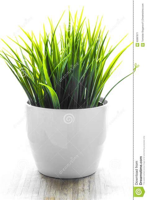 decorative grass plants decorative wheatgrass plant in white flower pot stock