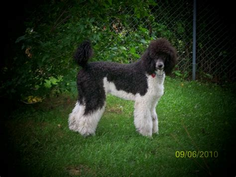 parti poodle lifespan parti poodle breeders canada photo