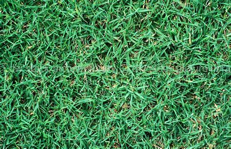 couch grass identification image grass grasses lawn lawns lawn grass lawn grasses