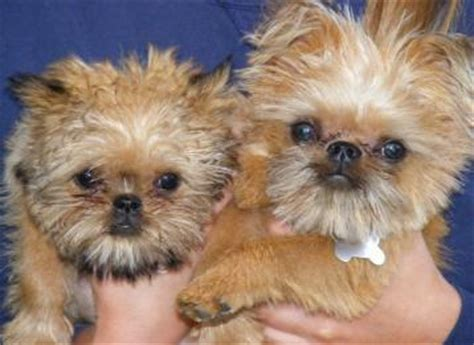 shiffon puppies shiffon shih tzu x brussels griffon mix info temperament puppies pictures