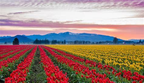 tulip feilds visit the world tulip fields of skagit valley near