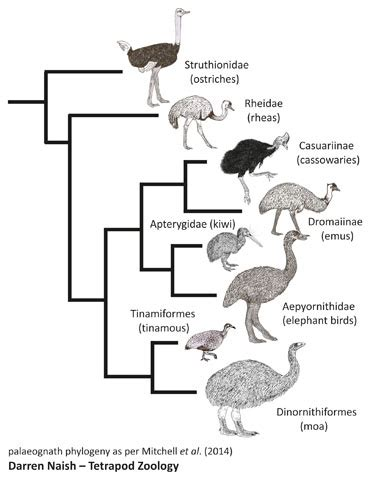 cassowary cycle diagram ratites in trees the evolution of ostriches and kin and