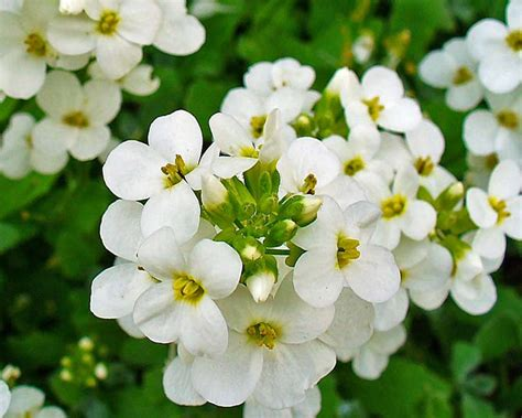 GardensOnline: Arabis caucasica syn. Arabis albida