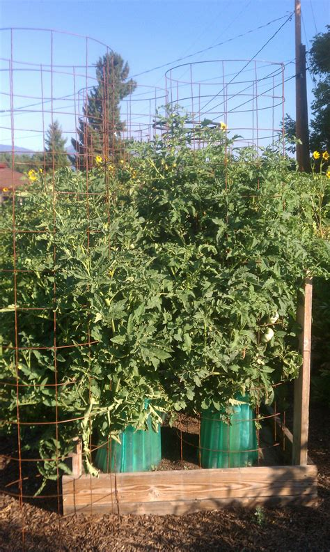 4 plants you can grow today to keep mosquitoes away the gardening cody witt real deal compost