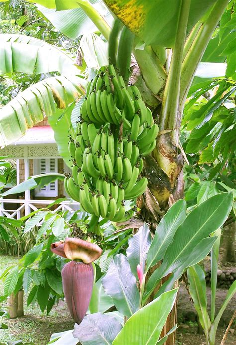 bananas on tree food and nutrition extras t r e e online