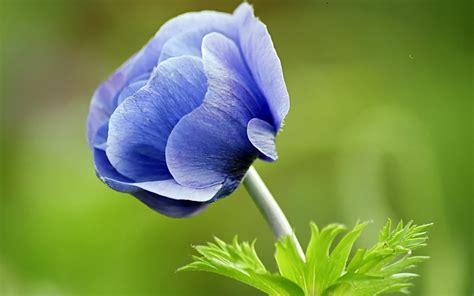 wallpaper nature flower pictures blue flower wallpapers and images wallpapers pictures