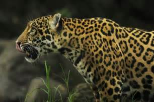 Endangered Species Jaguar Brazil Cloning To Bolster Endangered Species