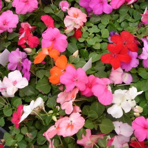 impatiens mixed better buys
