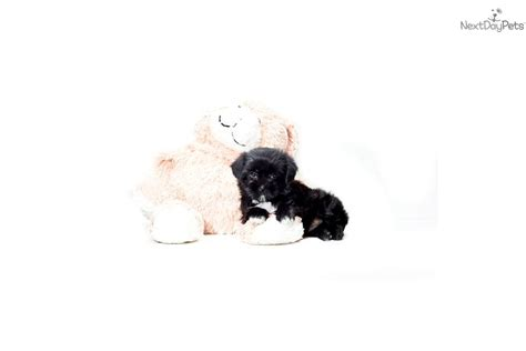 yorkie poo puppies cincinnati yorkiepoo yorkie poo puppy for sale near columbus ohio 4f41788a 04c1