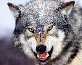 10 interesting wolf facts my interesting facts
