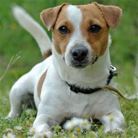 russel terrier puppy terrier breed guide learn about the terrier