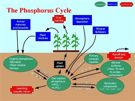 pin phosphorus cycle on pinterest