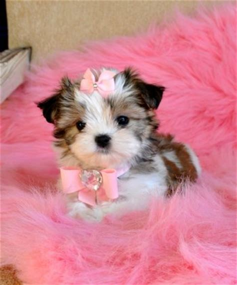 puppy princess tiny maltzu puppy adorable princess sold puppies for sale florida
