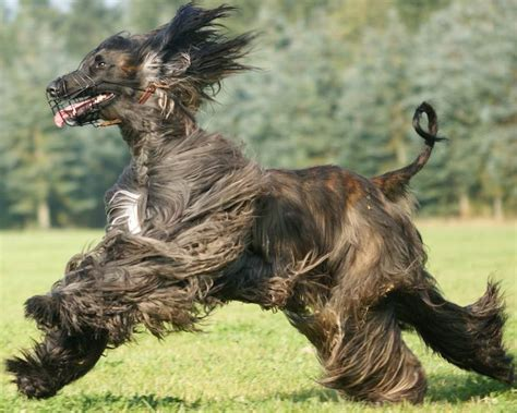 afghan breed afghan hound breed information and images k9rl