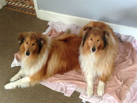 collie for sale collie for sale doncaster south pets4homes