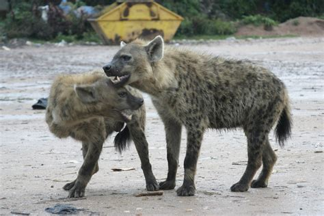 hyena cat or finding friendship in the city of hyenas wbur s the