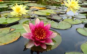 Lotus Pond Lotus Pond Flower Wallpapers Free Wallpapers