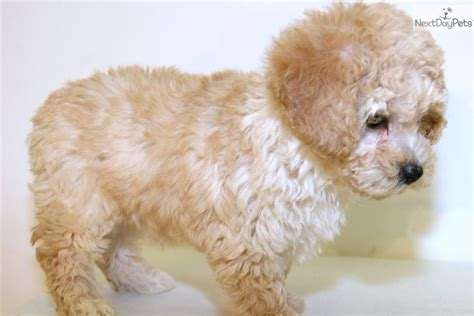 mini poodle grown dogbreedspicture net 522 connection timed out
