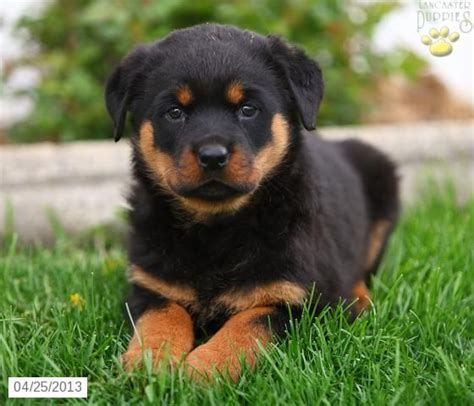rottweiler rescue new jersey rottweiler rescue pa stop puppy jumping on table how do u a not to bite