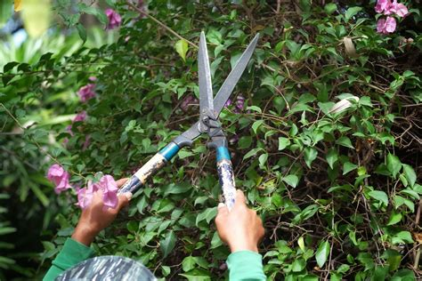 bougainvillea schneiden bougainvillea winterharte bl 252 tenpracht oder aufw 228 ndig
