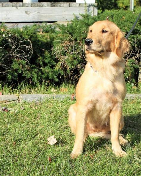 one year golden retriever nora akc golden retriever s best friend
