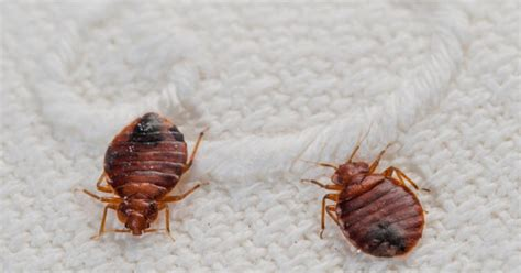 bed bugs chicago 28 images bed bugs spotted at the