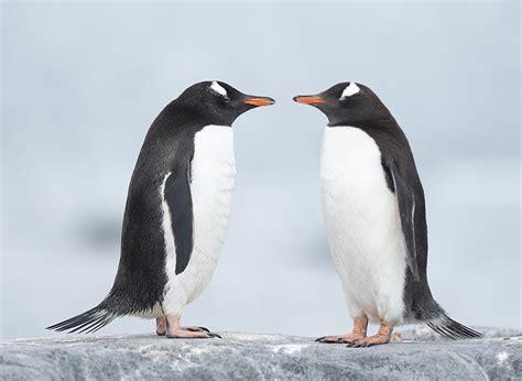 Picture 2 of 11 - Adelie Penguin (Pygoscelis Adeliae ...