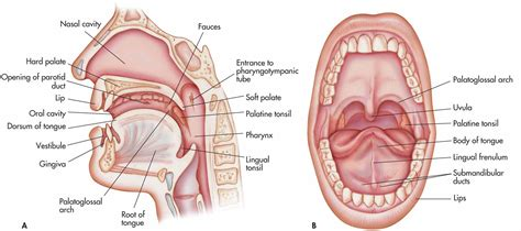 define section anatomy oral cavity anatomy diagram anatomy organ