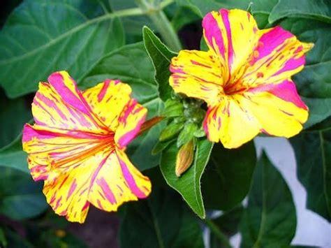 fiori belli di notte giardinaggio semina pianta quot di notte mirabilis