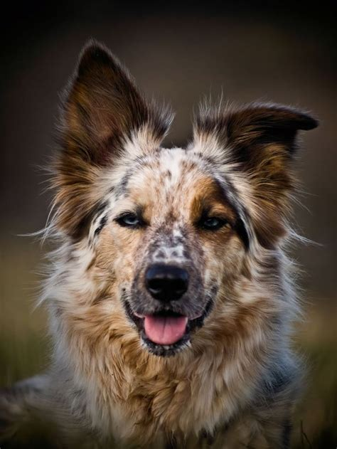 Do Australian Sheep Dogs Shed by 25 Best Ideas About Australian Shepherd Mix On