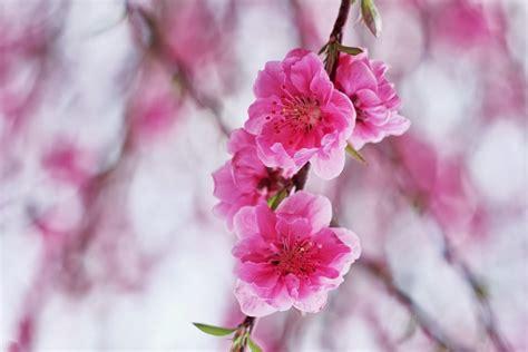 pink cherry blossom flowers flowers