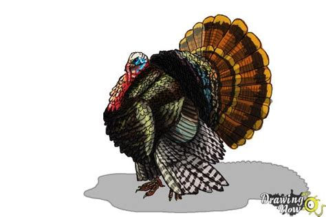 draw  turkey step  step drawingnow
