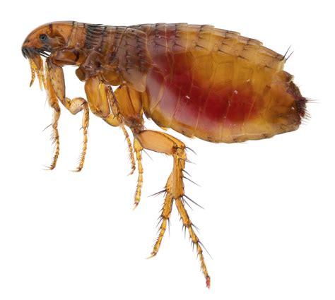with fleas wrexham fleas 07916 322280 wrexham pest experts
